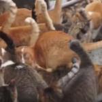 虐待だって? 日本の猫島をめぐる「よけいなお世話」な海外の反応